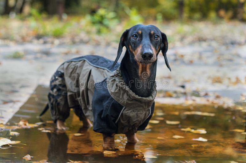 Portrait of look at camera dog Dachshund breed, black and tan, dressed in a raincoat standing in a puddle, cool autumn weather.  royalty free stock image