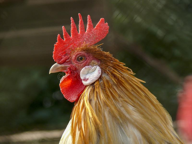 Portrait of a, looking on guard, orange and white rooster with a light red pink comb. stock images