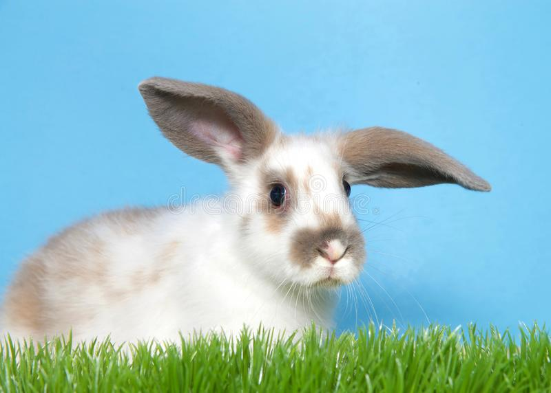 Portrait of a lop eared bunny in grass. Young white bunny rabbit with brown spots and floppy ears perked up looking slightly to viewers right, green grass and stock image
