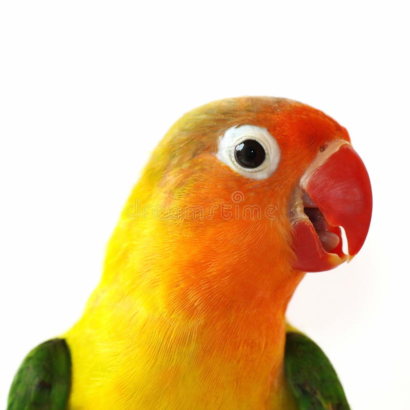 Download Portrait Lovebird Isolated On White Stock Image - Image: 15711431