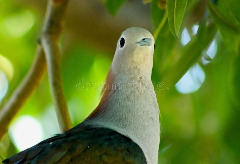 Lovely Green imperial pigeon, Ducula aenea. Portrait of the lovely Green Imperial Pigeon, which is a large forest pigeon. The green imperial pigeon is a large royalty free stock photography
