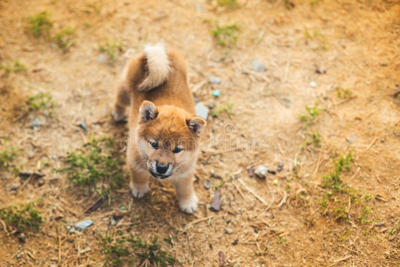 Portrait of lovely japanese shiba inu puppy standing outside on the ground and looking to the camera. Portrait of cute japanese shiba inu puppy standing outside stock photos