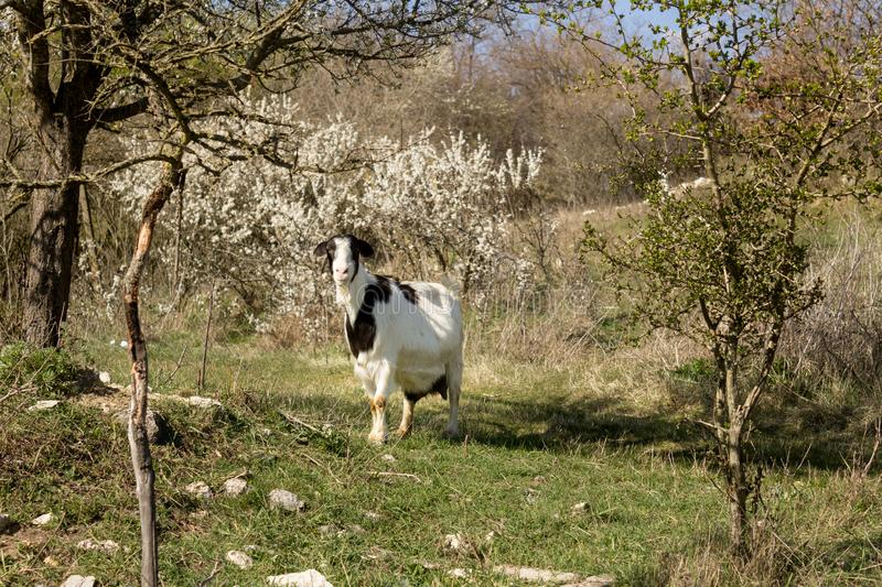 Lovely pregnant goat grazing on green spring meadow field at village countryside. Portrait of lovely pregnant goat grazing on green spring meadow field at royalty free stock images