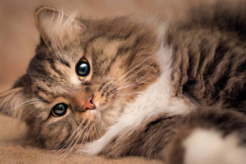 Portrait of a lying fluffy cat with cunning eyes stock images