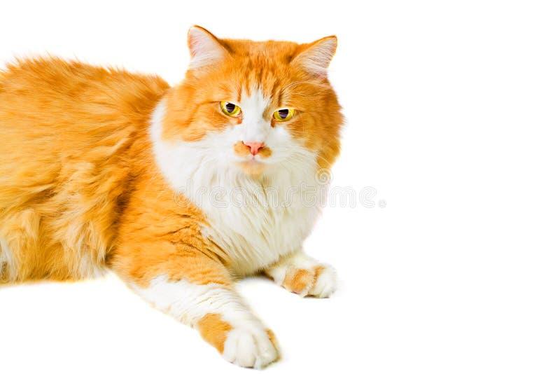 Portrait of lying orange and white cat