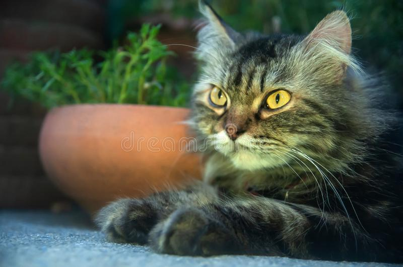Portrait of a lying Persian cat with long gray hair. Cute and funny, bright yellow eyes looking away. Closeup. Soft focus royalty free stock images