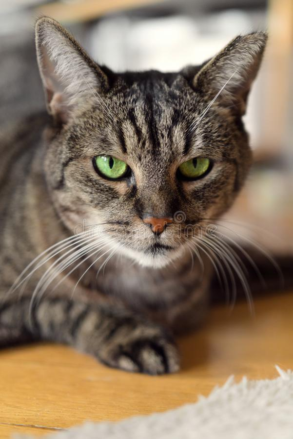 Portrait of a lying tabby cat with green eyes looking directly at camera. Three-legged old tabby cat with green eyes lying in sphinx pose on floor and looking royalty free stock photo
