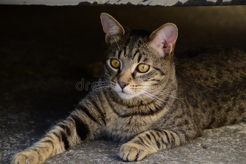 Portrait of a lying tiger cat with yellow eyes, cat on the right side of photo. A portrait of a lying tiger cat with yellow eyes, cat on the right side of photo royalty free stock images