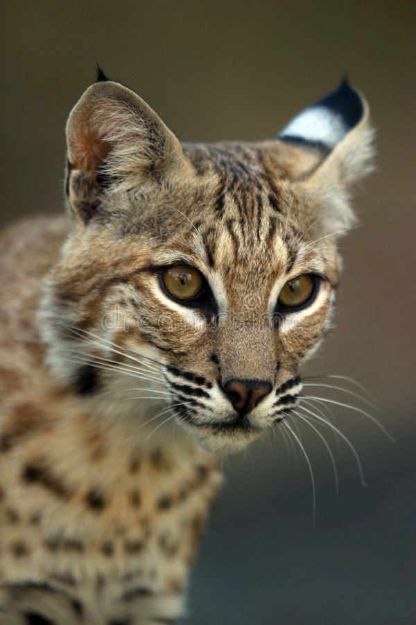 Download Portrait of a lynx stock photo. Image of nature, bobcat - 607632