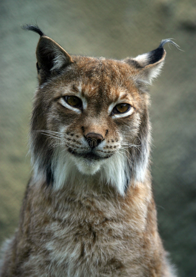 Portrait of a lynx. Illustration to magazine about animals. Close-up portrait of a lynx royalty free stock photography
