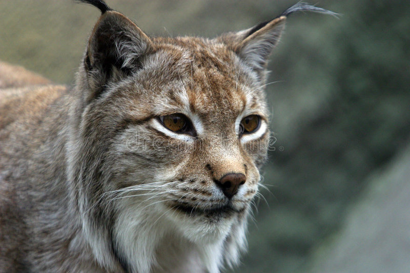 Download Portrait of the Lynx stock image. Image of peaceful, pictures - 630201