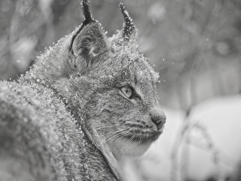 Portrait of a Lynx stock images