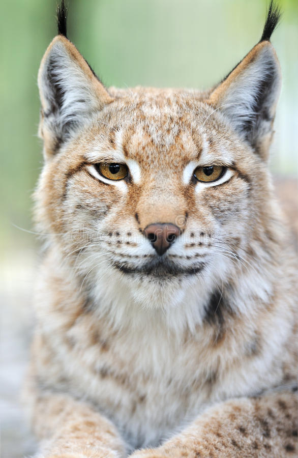 Download Portrait of a Lynx stock photo. Image of predator, face - 32512802