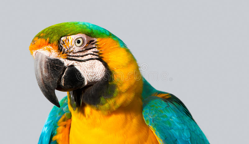 Portrait of macaw. A curious macaw peeks attentively stock photos