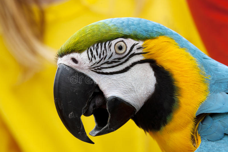 Portrait of Macaw Parrot. A portrait of a macaw parrot with it's brightly colored plumage royalty free stock photos