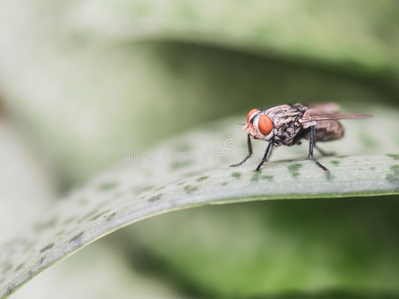 Portrait macro of fly on a green leaf royalty free stock image