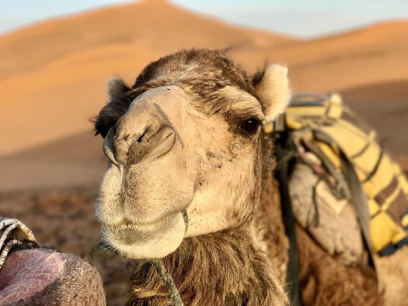Portrait made of a camel Sahara desert. royalty free stock images
