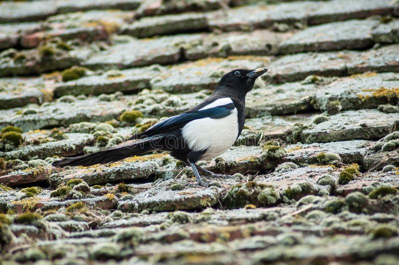 Magpie walking on terra cotta tiles on the roof. Portrait of magpie walking on terra cotta tiles on the roof stock photography