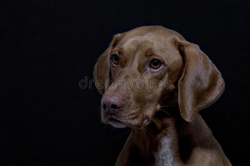 Portrait of a Magyar Vizsla. Also called Shorthaired Hungarian Pointer in studio in front of black background stock photography