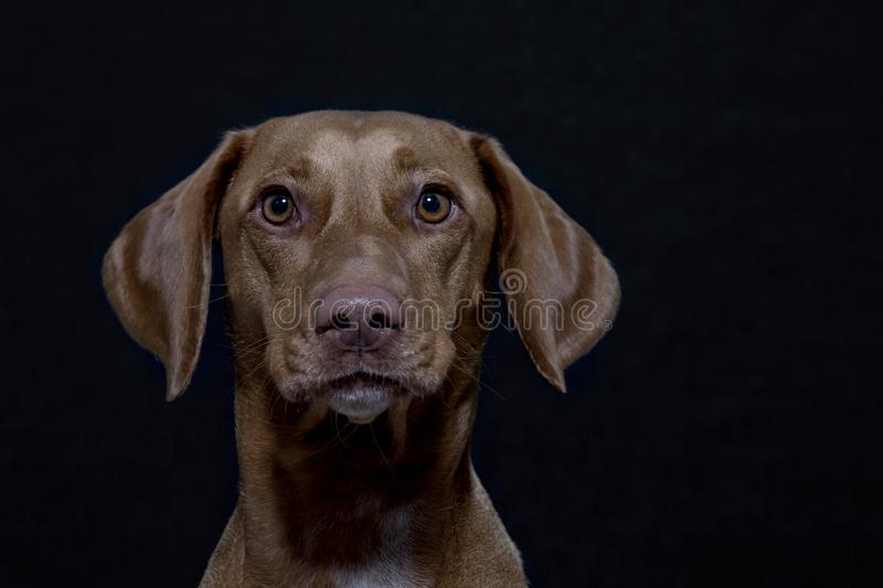 Portrait of a Magyar Vizsla. Also called Shorthaired Hungarian Pointer in studio in front of black background royalty free stock image