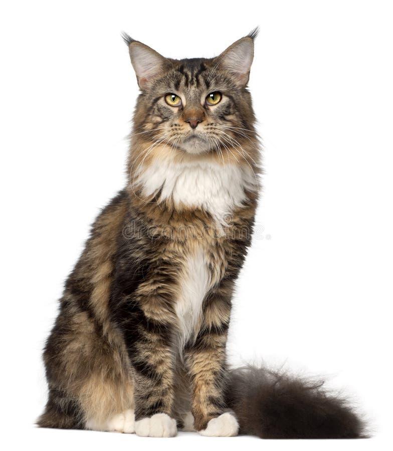 Portrait of Maine Coon cat stock photos