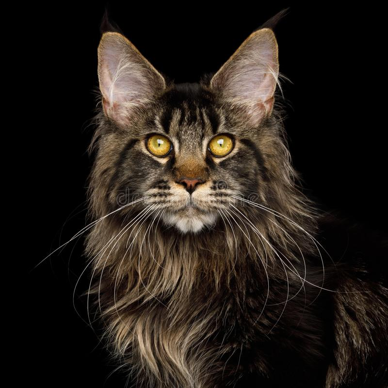 Huge Maine Coon Cat Isolated on Black Background. Portrait of Maine Coon Cat with brushes on ears, Isolated Black Background royalty free stock photo
