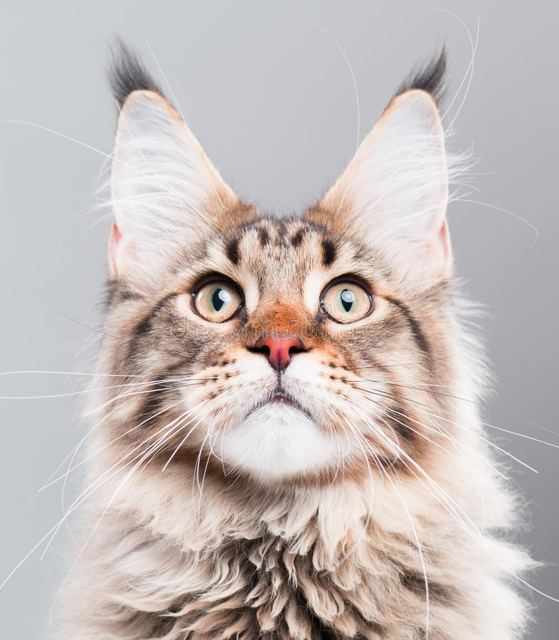 Portrait of Maine Coon cat stock image