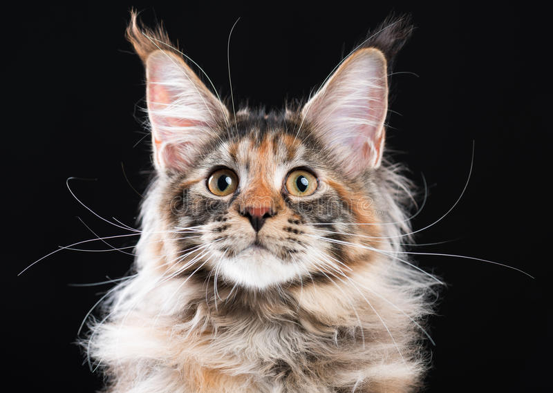 Portrait of Maine Coon cat stock images