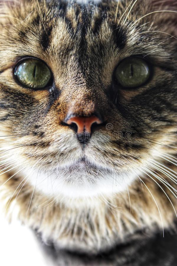 Portrait of a Maine coon cats face stock images