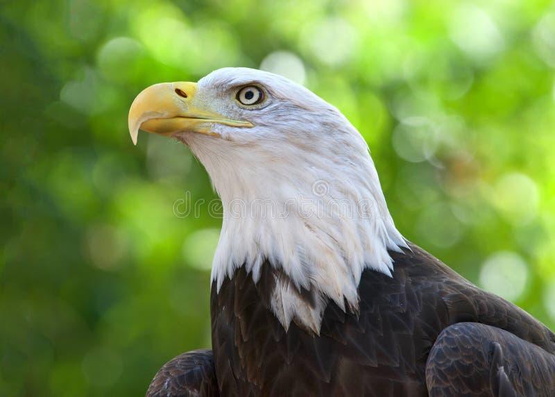Portrait of a majestic Bald Eagle stock photos