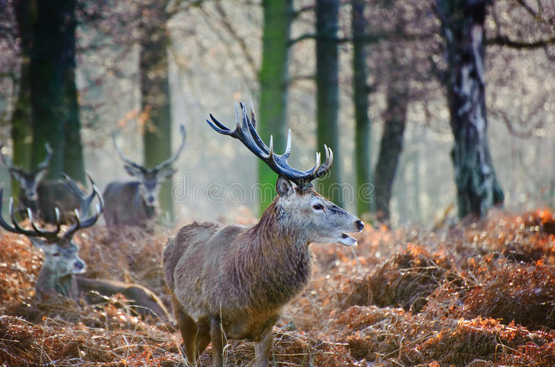 Portrait Of Majestic Red Deer Stag In Autumn Fall Royalty Free Stock Images