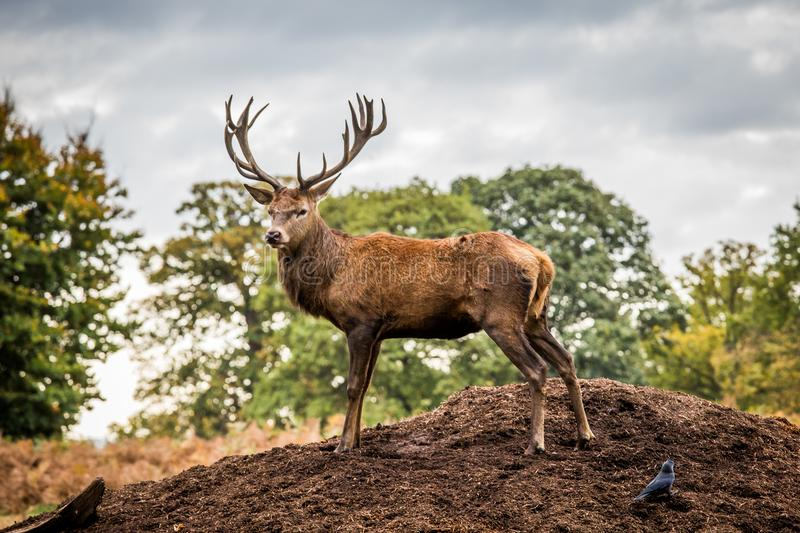 Portrait of majestic red deer stag in Autumn Fall stock photos
