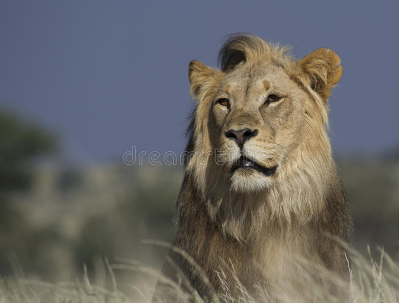 Portrait of a mal lion. Portrait of a male lion in tall grass from the background royalty free stock photography