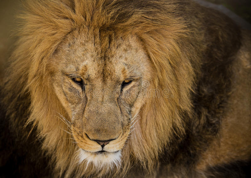 Portrait of a male African lion. Close-up portrait of a male African lion stock photo