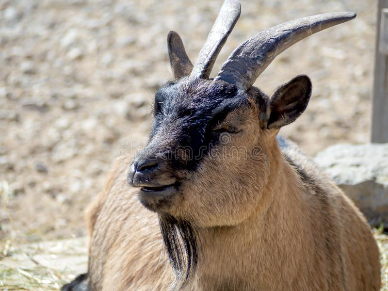 Portrait of male Billy Goat royalty free stock images