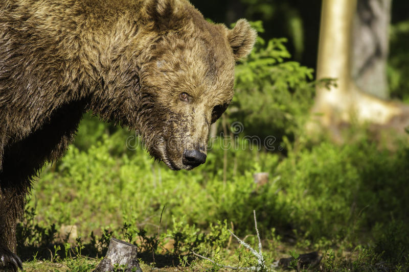 Portrait of a male Brown Bear (Ursus arctos) stock photos