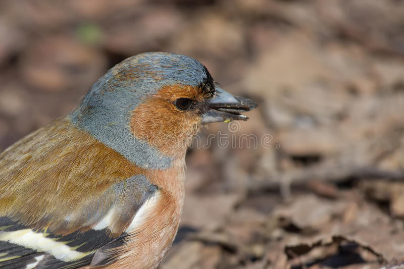 Download Portrait of Male Chaffinch stock photo. Image of male - 26076998