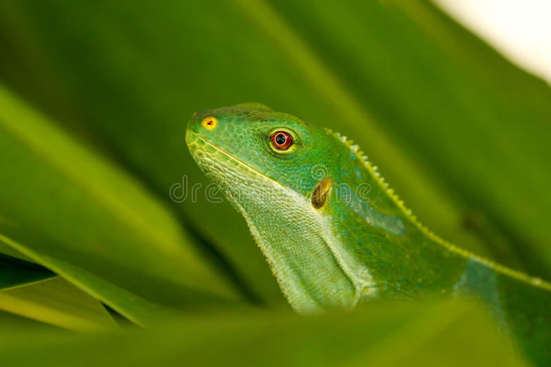 Portrait of male Fiji banded iguana Brachylophus fasciatus on royalty free stock photos