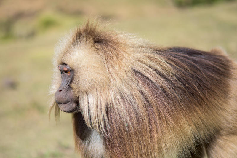 Portrait of a male gelada baboon stock image