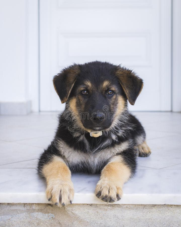 Portrait of a male German Shepherd puppy. Cute stock photos