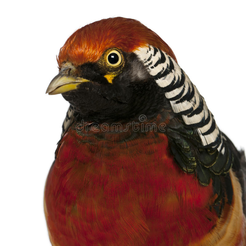 Download Portrait Of Male Golden Pheasant Stock Image - Image of feather, background: 24991637