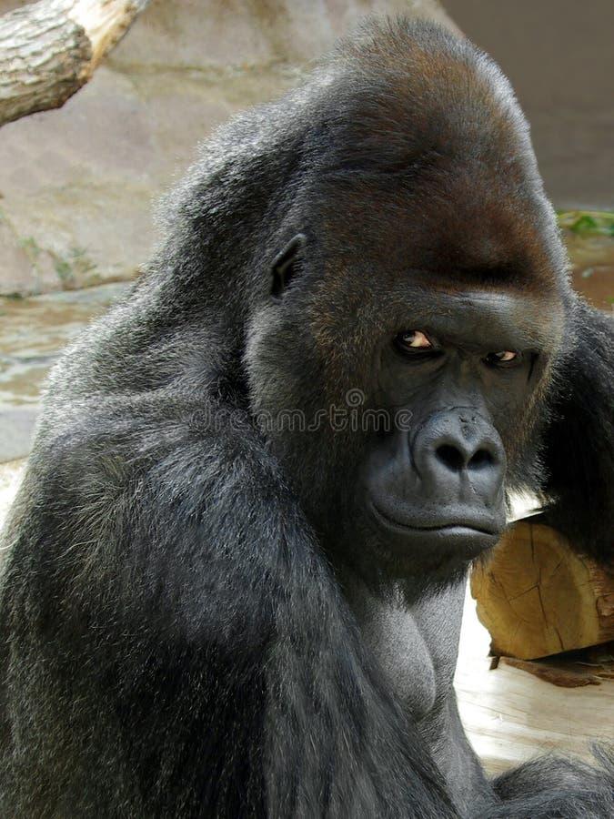 Portrait of male gorilla stock image