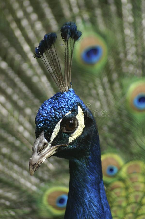 Portrait of a male Indian Peafowl. A portrait of a male Indian Peafowl displaying its colorful feathers. The Indian Peafowl is also known as the Common Peafowl stock photos