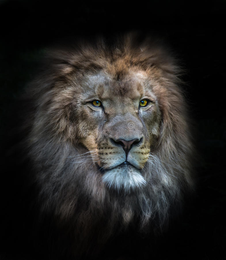 Portrait of a male lion. On a black background royalty free stock photo