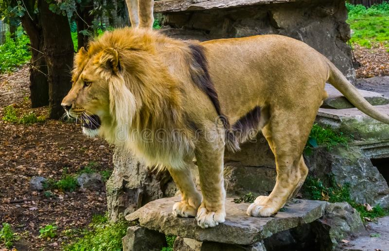 Portrait of a male lion in closeup, Wild cat from Africa, Vulnerable animal specie stock photo