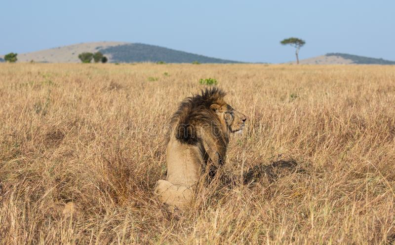 Portrait of male lion, Panthera leo, of the Sand River or Elawana Pride, from behind sitting in African landscape with tall grass. Acacia tree, hill, and stock photo