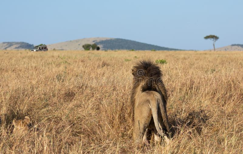 Portrait of male lion, Panthera leo, of the Sand River or Elawana Pride, from behind standing with lioness in African landscape. With tall grass, acacia tree stock photos