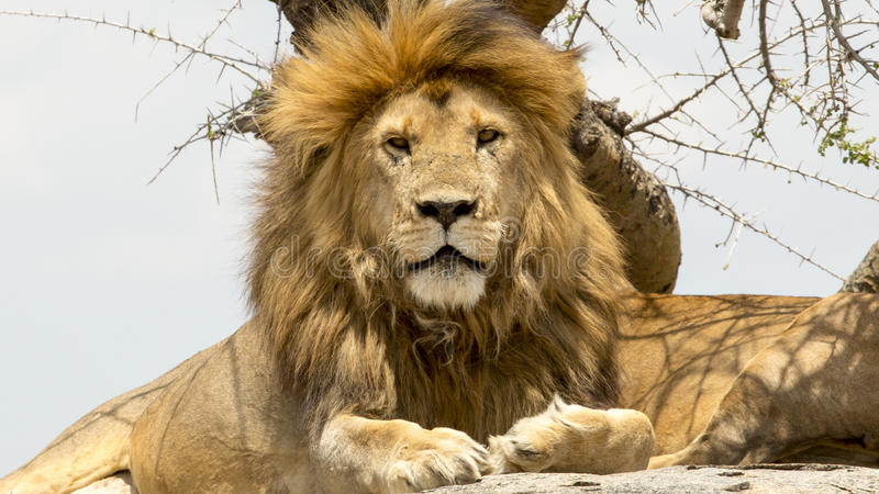 Portrait of male lion. Portrait of a male lion sitting, at Serengeti National Park, Tanzania royalty free stock image