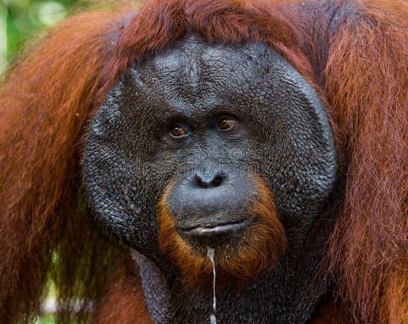 Portrait of a male orangutan. Close-up. Indonesia. The island of Kalimantan (Borneo). royalty free stock photos