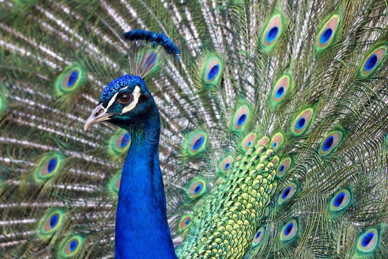 Vibrant Blue Male Peacock royalty free stock photos